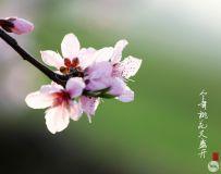 今年桃花又盛开2