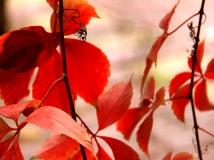 片片红叶情