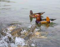 儿鱼戏水鸳鸯看