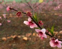桃花朵朵开1