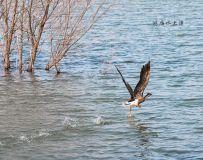鸿雁水上漂