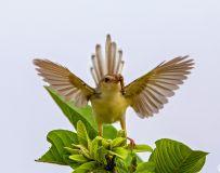 小鸟也开屏
