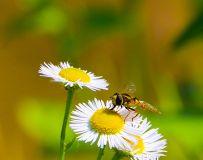 小  白  菊  花