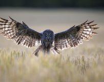 降落——乌林鸮