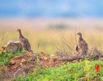 《呼唤》—— 环颈雉