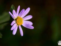 秋天的小紫花