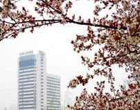 《樱花盛开的时候》
