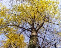 银杏叶黄满地金