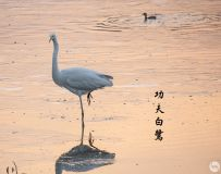 涧河冬鹭百姿图5