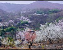 花开樱桃沟