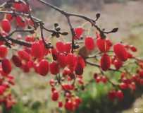 红红的山茱萸