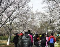 北京玉渊潭樱花节随拍之十四