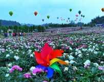 《美丽的芍药花》(手机拍摄)
