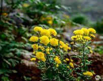 天然有机数贡菊(组照)