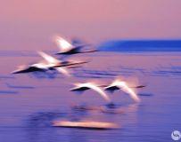 夕阳下的天鹅