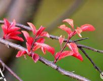秋天的红叶李(二)