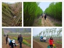 万亩竹柳绿丹江