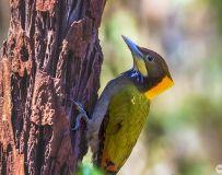大黄冠啄木鸟----森林医生