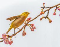 灰腹绣眼鸟----攀枝赏花在蓝天