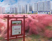 城市的风景——粉黛草(2)