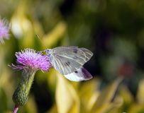 小蓟与粉蝶