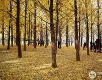 金秋北京奥森公园  红枫银杏彩叶飘飘(43)