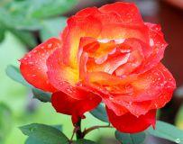 玫瑰花儿香