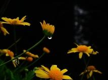 雨后菊花与水草