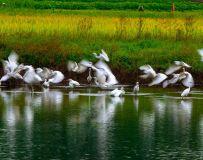 绿水鹭飞在金秋