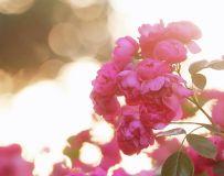 蔷薇21.2