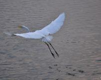 鹳河湿地拍白鹭