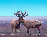 麋鹿----鹿茸花开并蒂莲