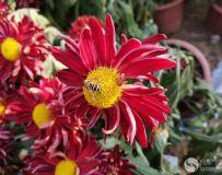 南阳卧龙岗的秋菊真漂亮啊!