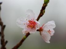 """(""""百天羊""""杯2015第3期月赛)春之娇(组照)"""
