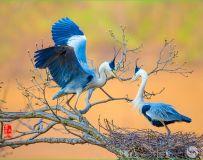 《共筑爱巢》—— 苍鹭