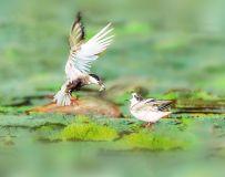 须浮鸥----振翅扬帆育幼雏