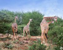 优雅的长颈鹿