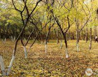 金秋北京奥森公园  红枫银杏彩叶飘飘(36)