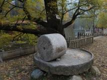 古树与石蹍-诉说沧桑