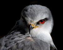黑翅鸢 (2)