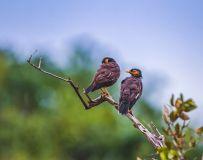 斯里兰卡八哥----双栖枝头情意绵