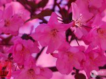 海棠花开(1)