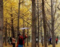 金秋北京奥森公园 红枫银杏彩叶飘飘(47)