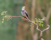 优雅的丝光椋鸟