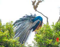 《枝头高站》—— 斯里兰卡蓝孔雀