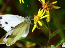 白色黑点蝴蝶