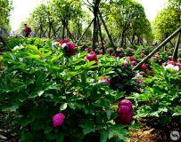 朝霞牡丹园