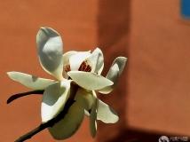 贵州白玉兰花
