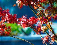 雪枫植物园的枫叶红了