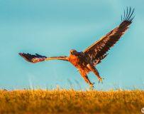 草原雕----霸主展翅上云天